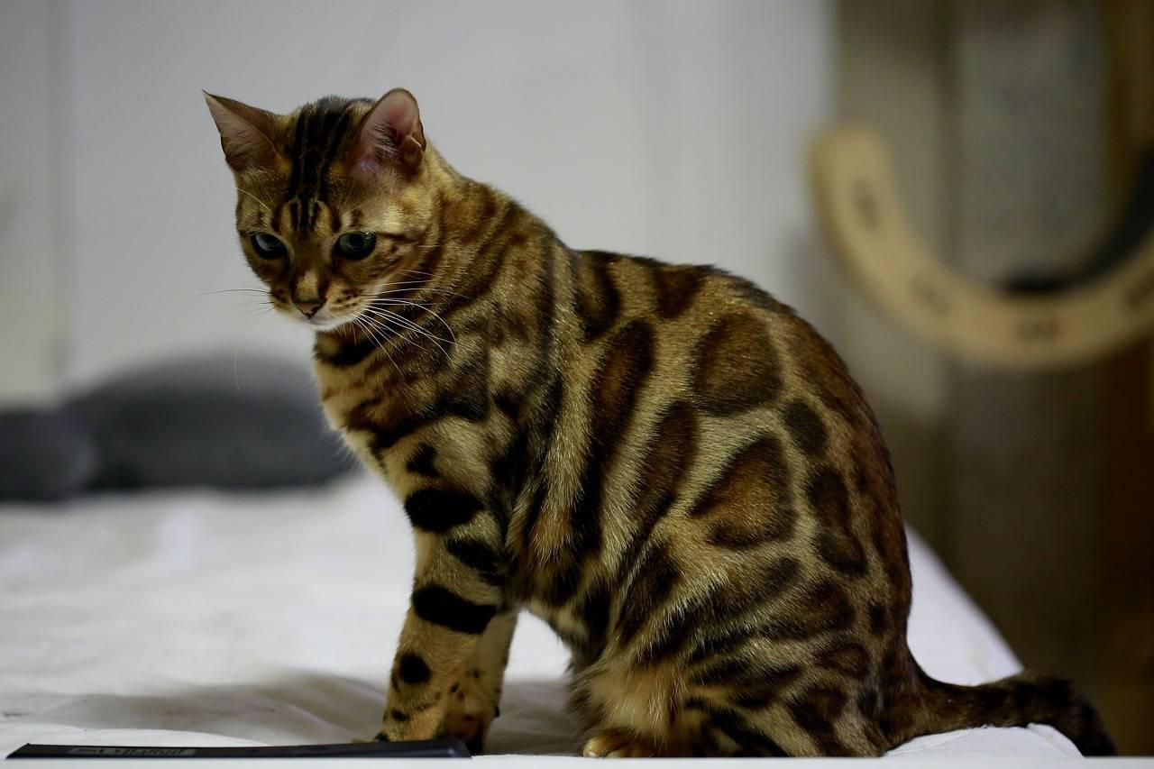 Gato de Bengala - razas de gatos a las que les gusta el agua