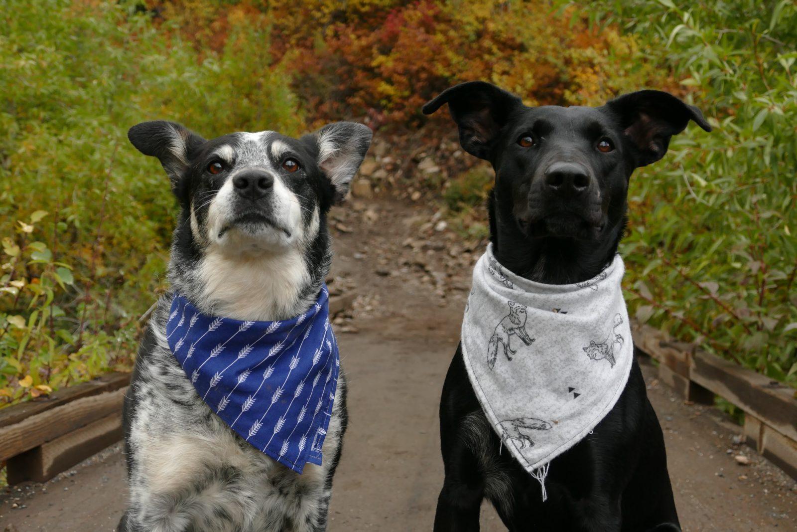 Bandanas para perros