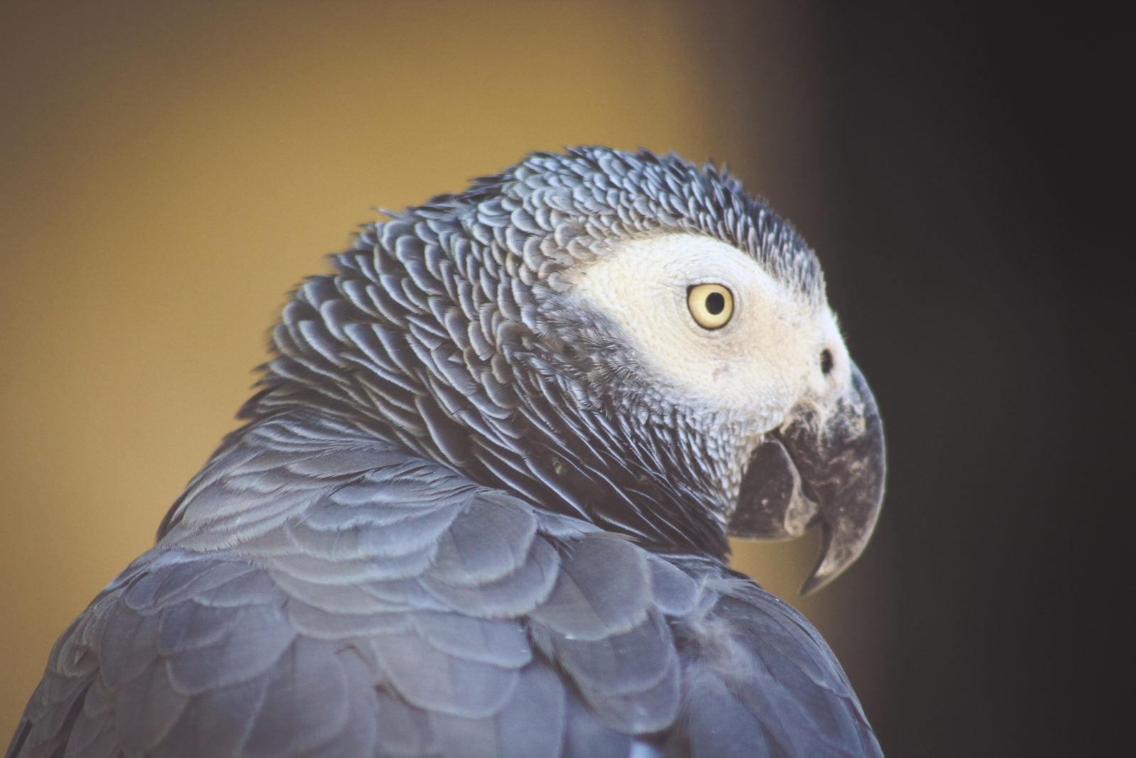 Los 5 pájaros más inteligentes entre los domésticos 1