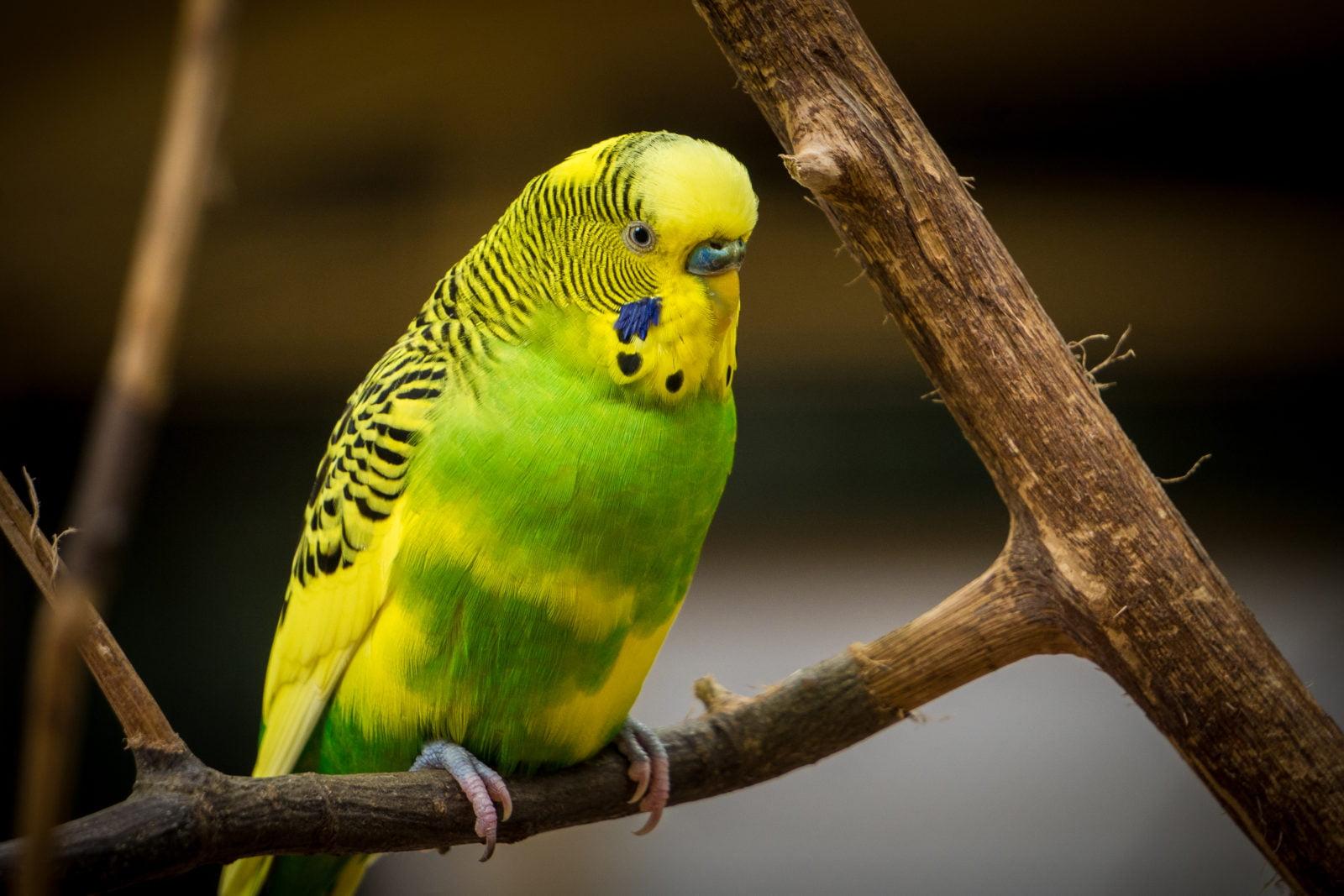 Periquitos: Todo lo que debes saber sobre este pequeño pájaro