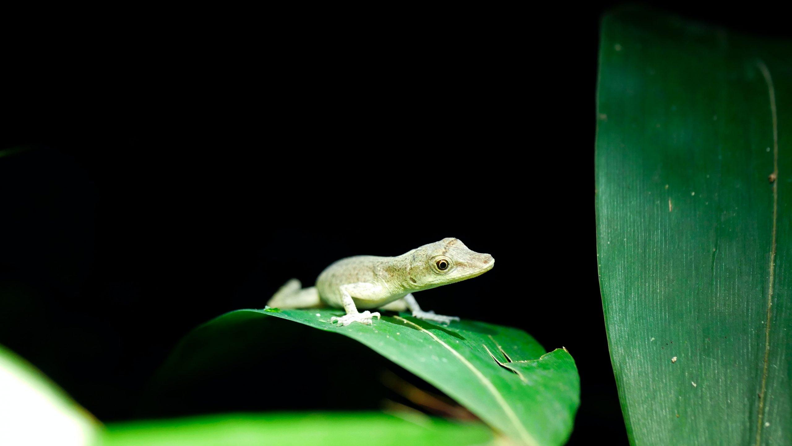 Anolis Verde: todo lo que necesitas saber sobre estos lagartos 1