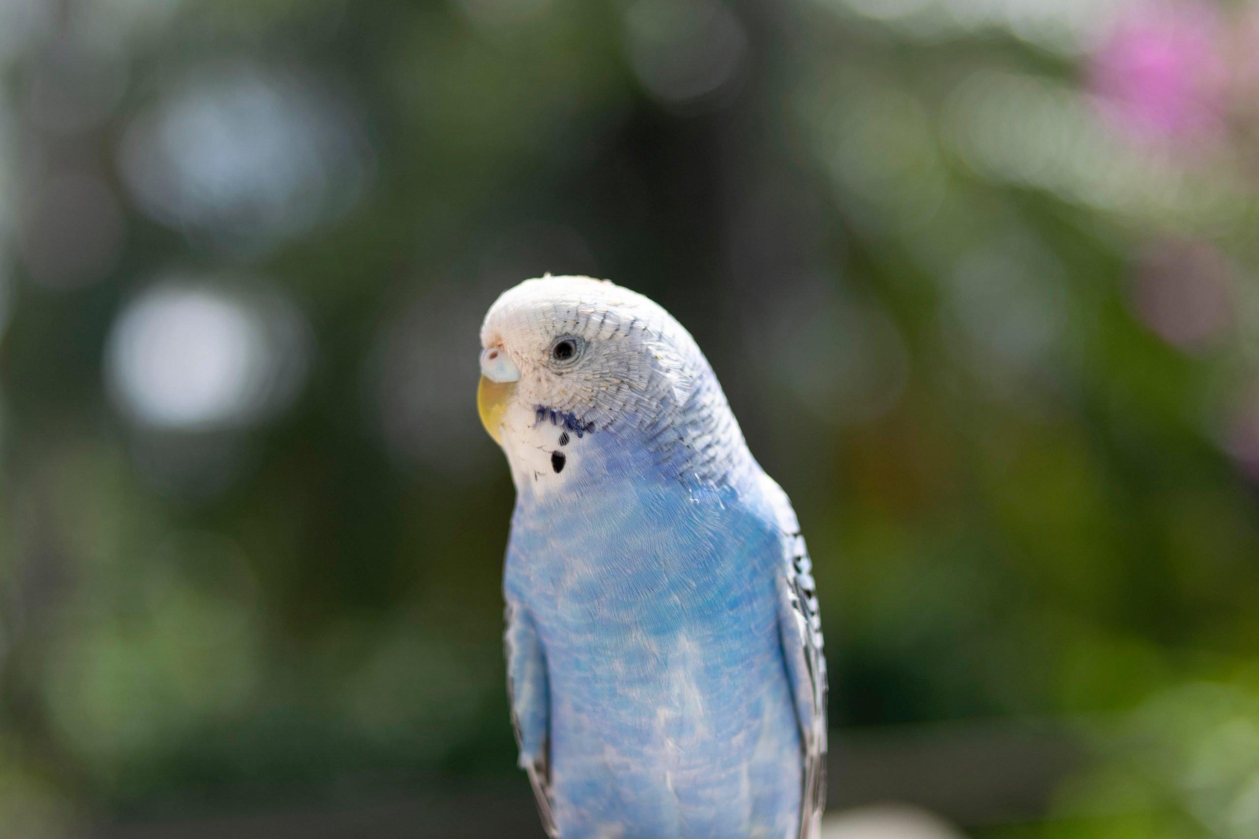 Periquitos - Los pájaros mascotas más tranquilos
