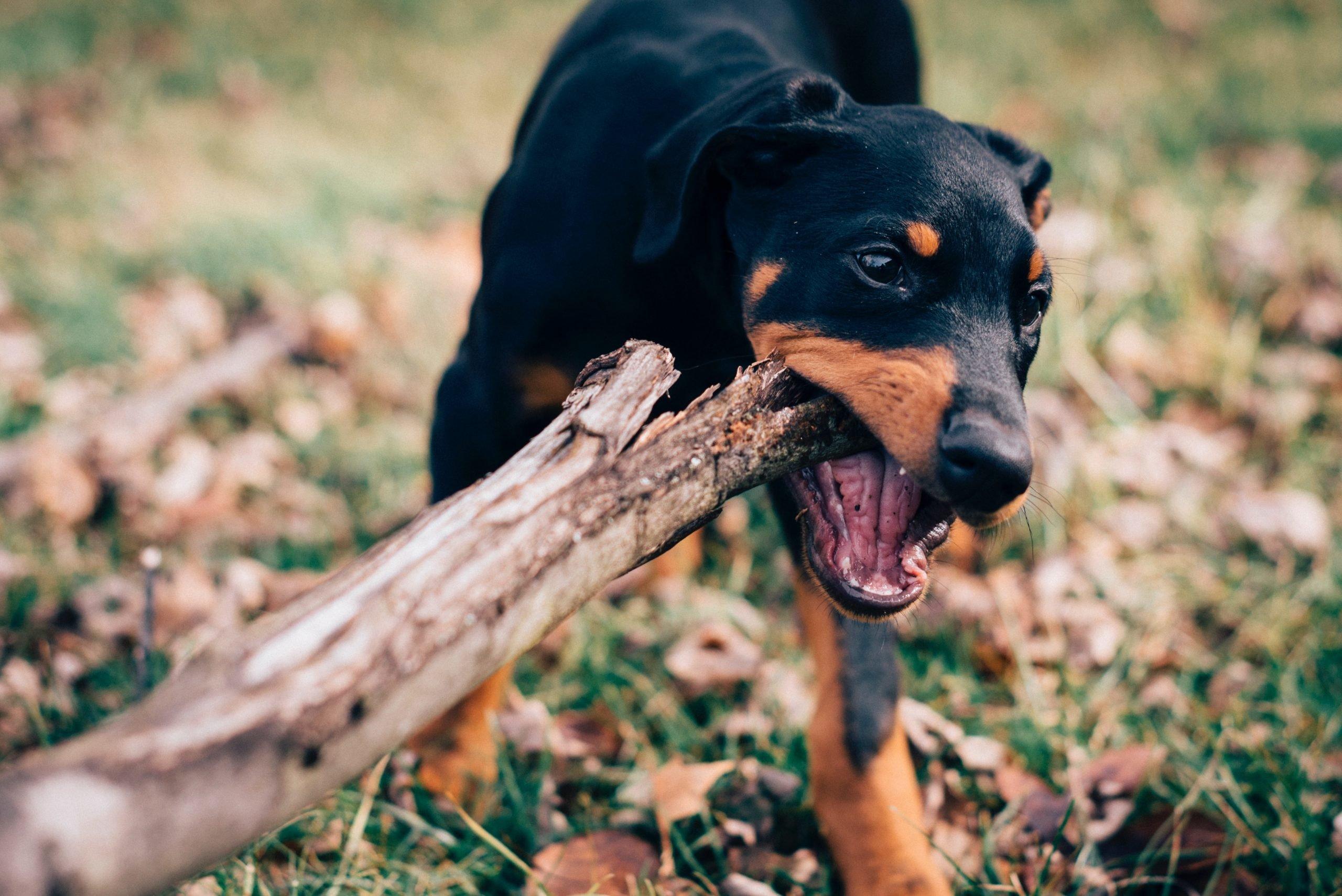 Obstrucción intestinal en perros: síntomas, causas y prevención 1