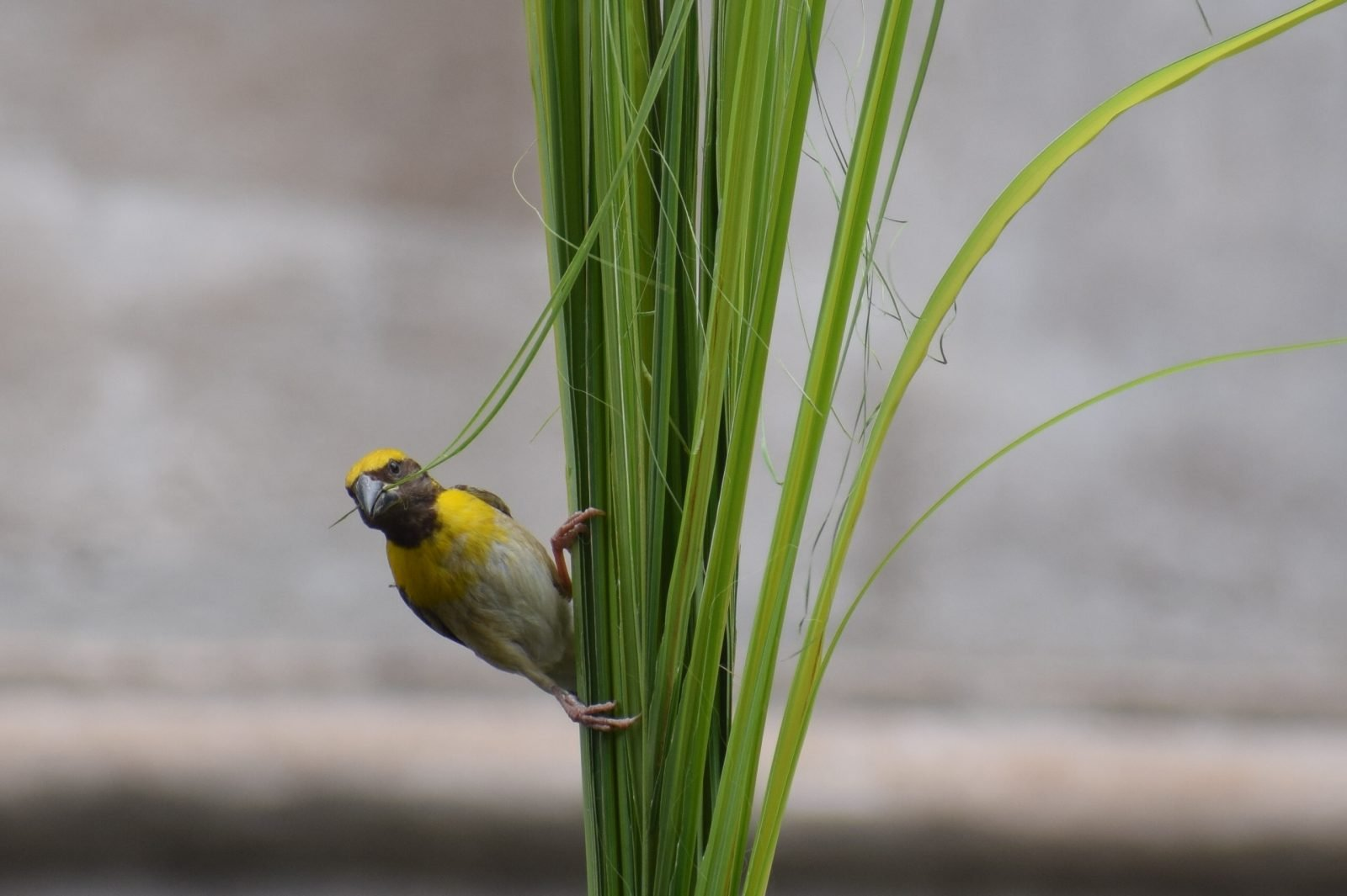Pinzones y canarios