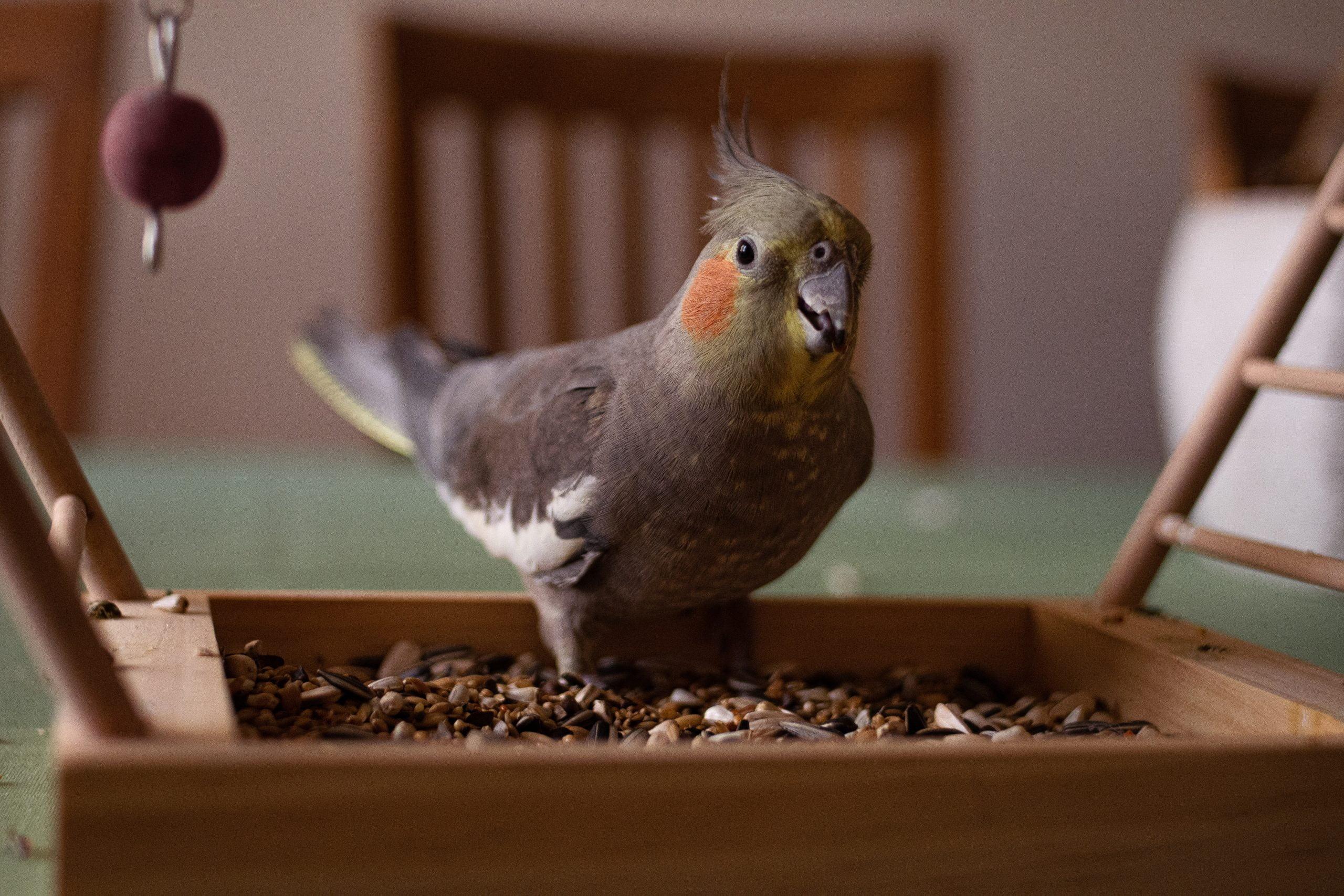 Ninfa - Los pájaros mascotas más tranquilos