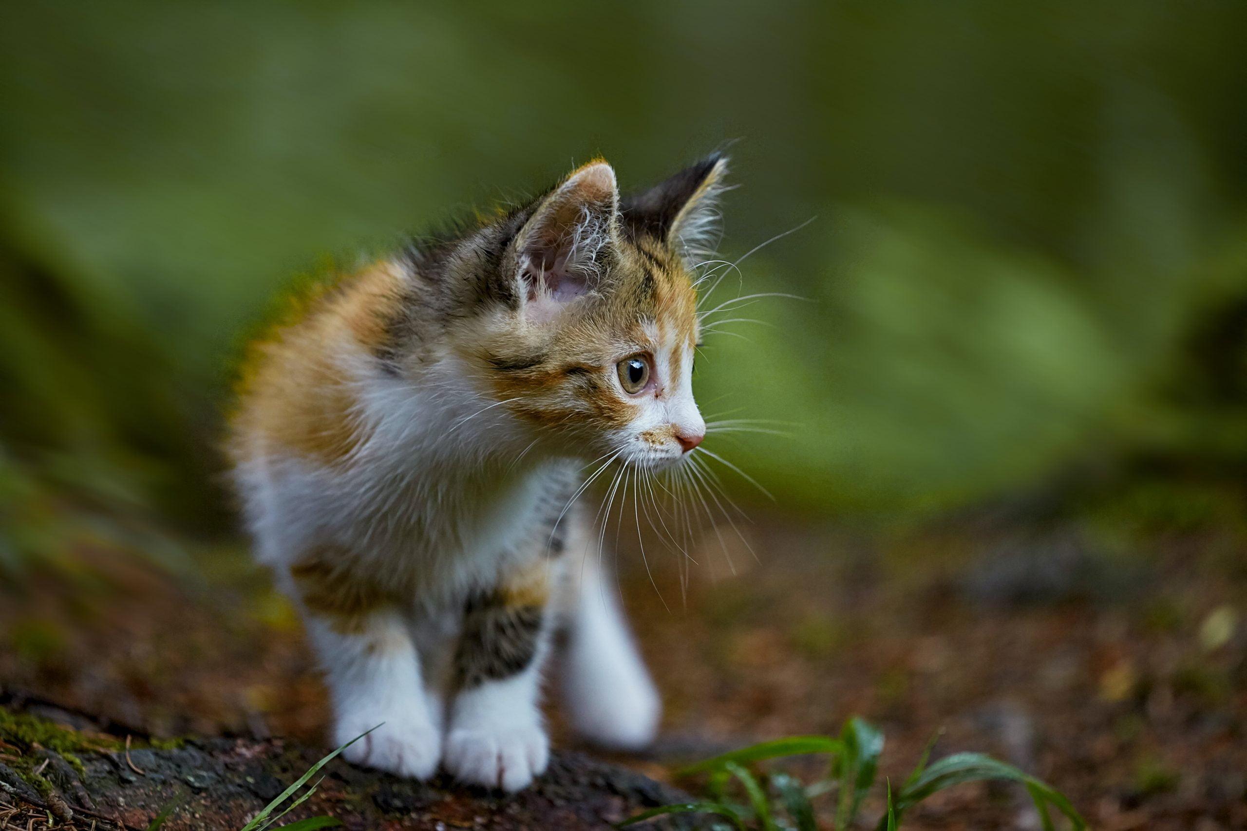 ¿Qué nutrientes necesitan los gatitos en su comida para gatos? 1