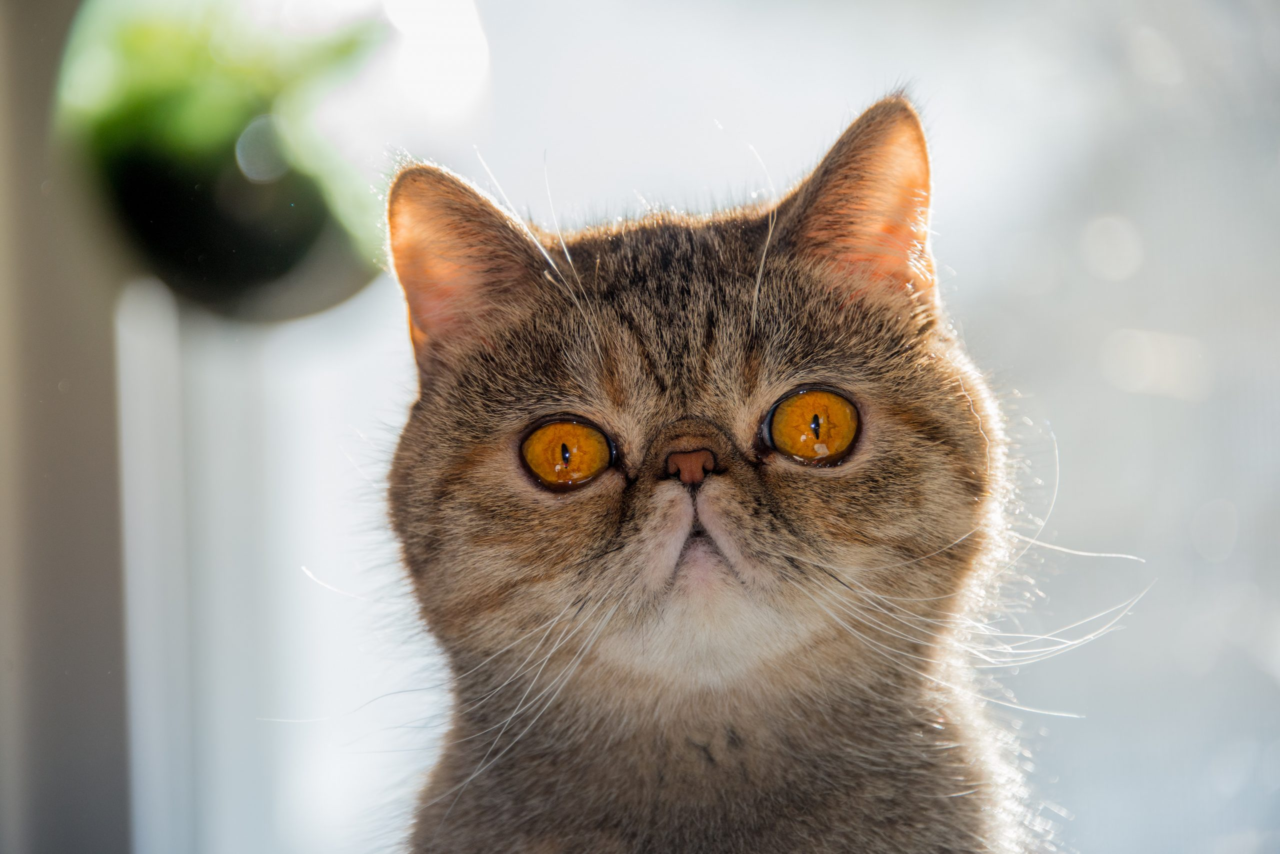 Gato exótico de pelo corto