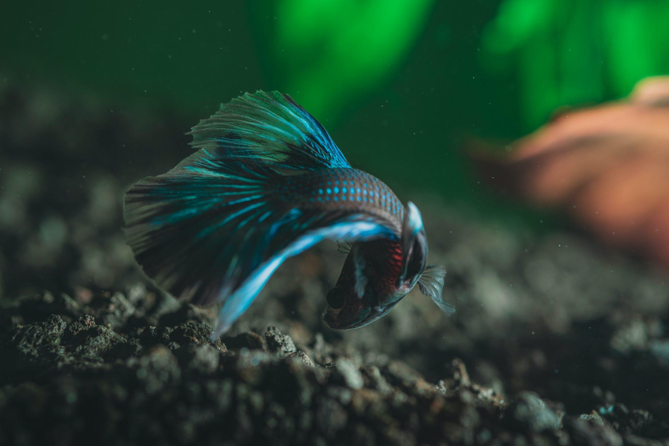 ¿Por qué pelean los peces Betta y cómo detenerlos? 1
