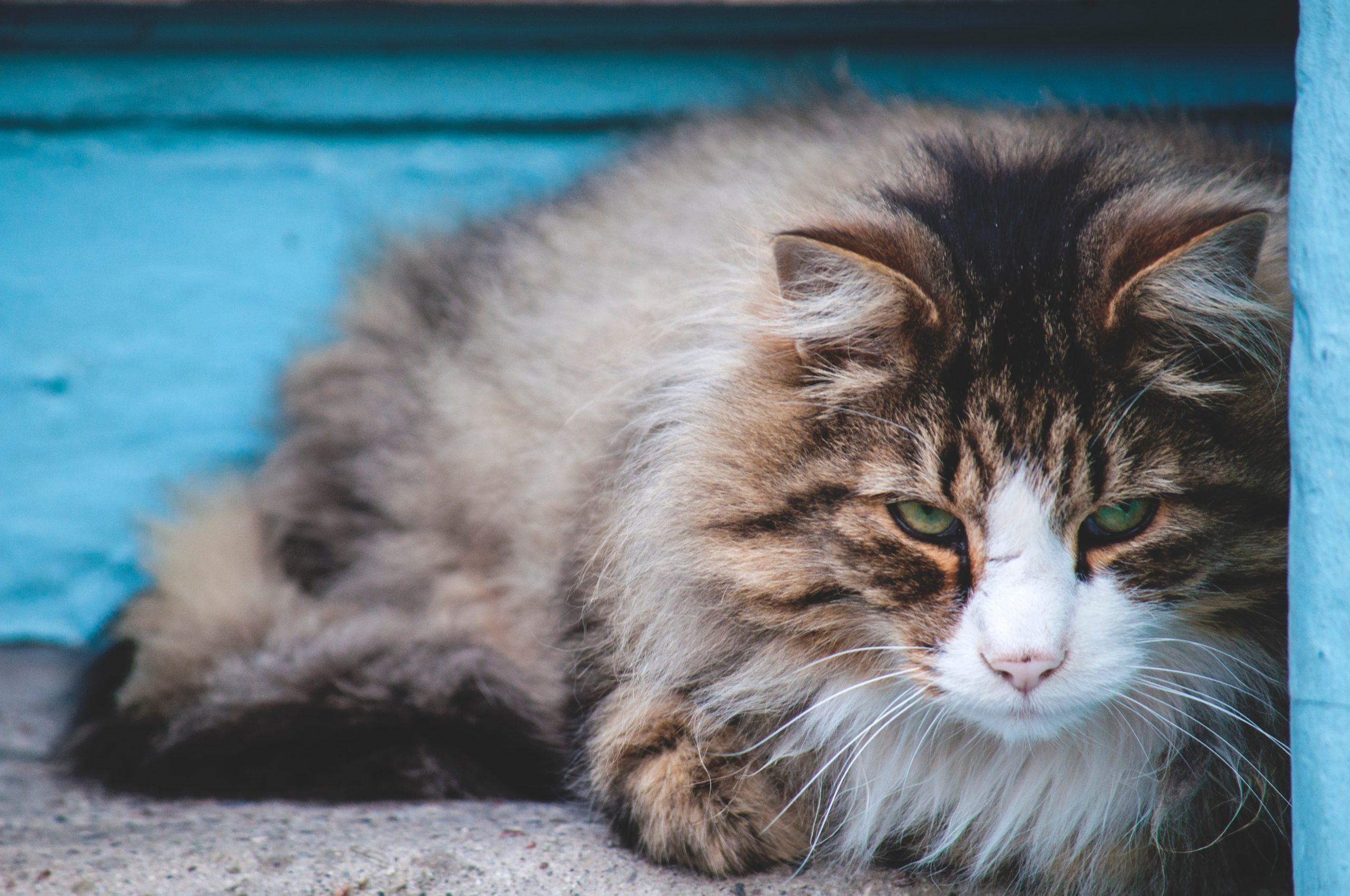 ¿Cuánto deben pesar los gatos? 1