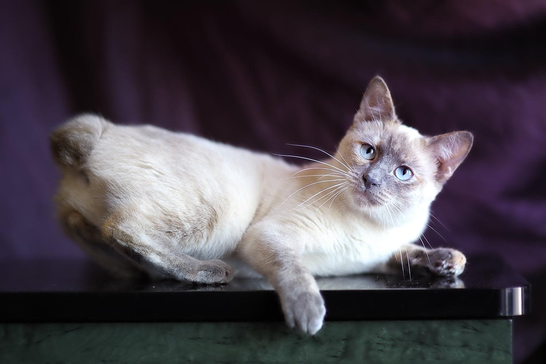 Gato Bobtail americano - razas de gatos a las que les gusta el agua