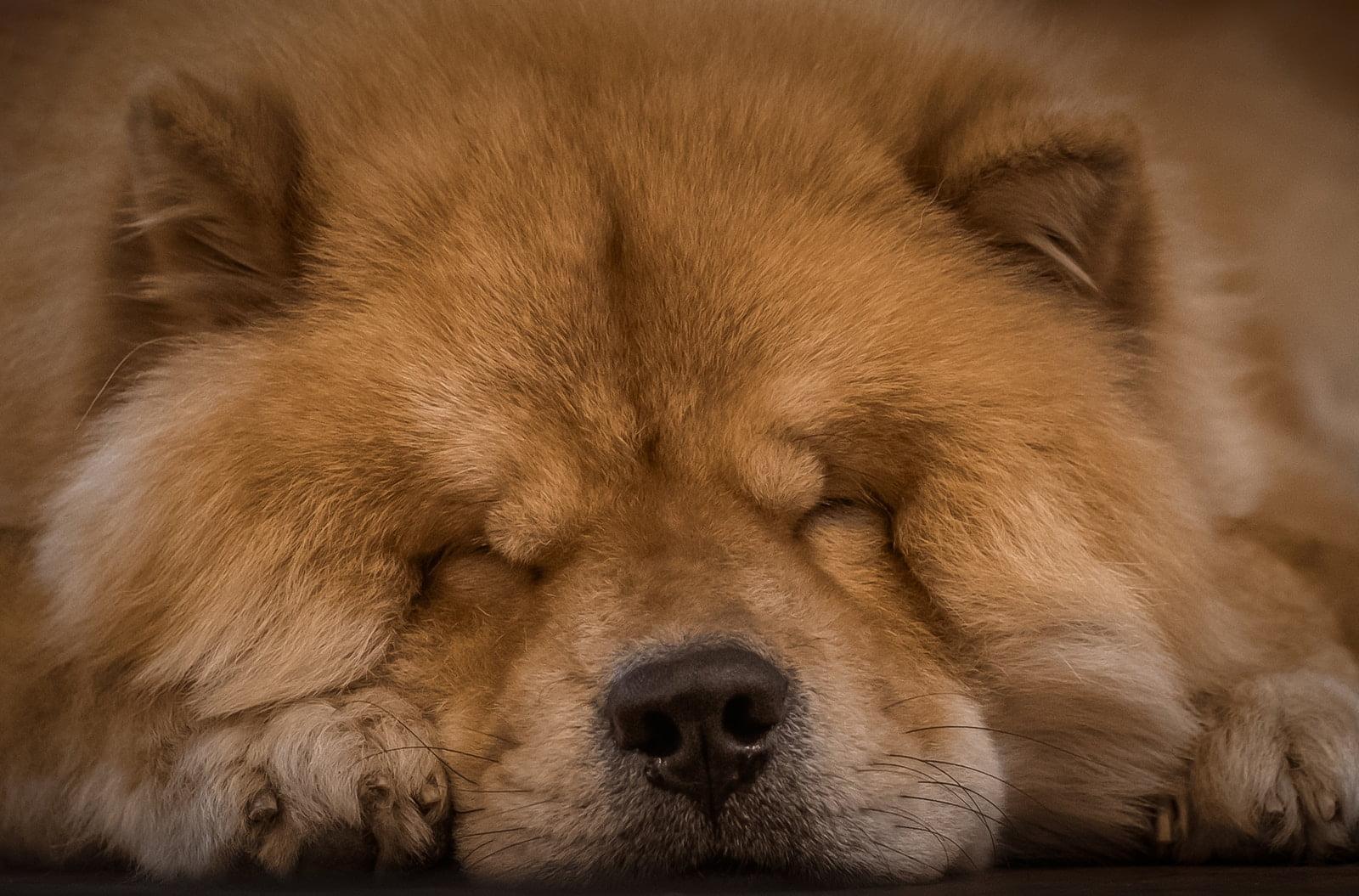 Las 10 razas de perro más peludas